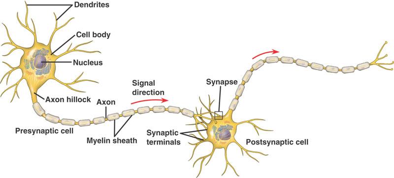 cau-truc-neuron