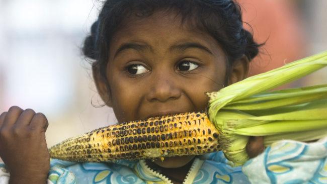 Eating GMO corn on the cob 1
