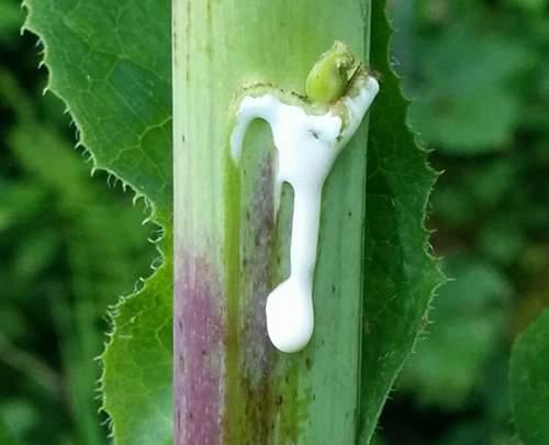 lettuce opium sticky extract of wild lettuce